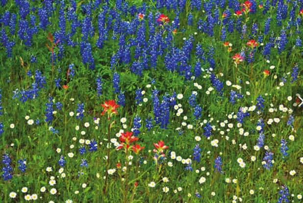 Texas spring wildflowers are predicted to shine bright this season despite winter storm