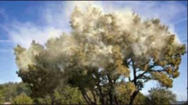 Oh no! Allergy sufferers, here comes the cedar pollen!