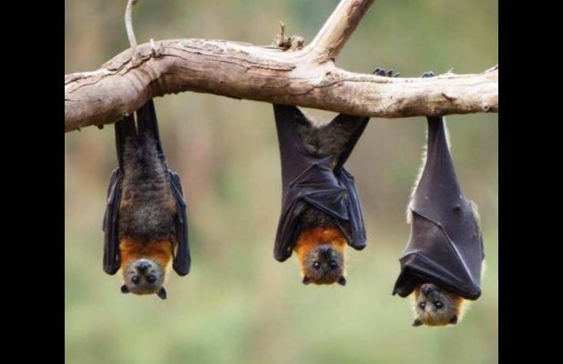 Texas A&M experts: Bats save agriculture billions