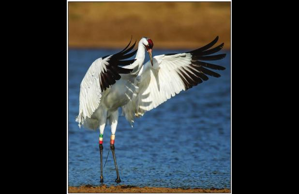 Endangered whooping cranes are heading to the Texas coast